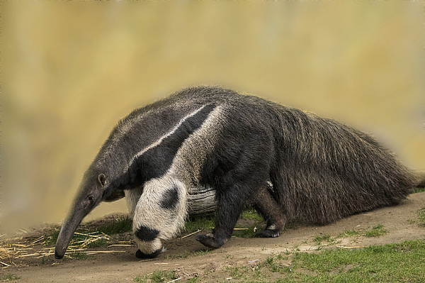 Giant Anteater Photograph by Mark Newman