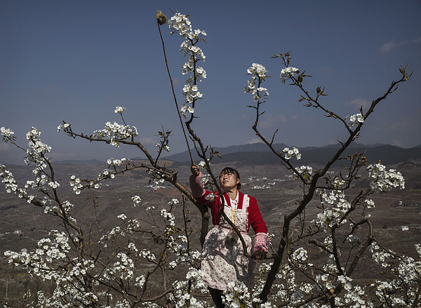 Humans Do The Work of Bees in Rural China Photograph by Kevin Frayer
