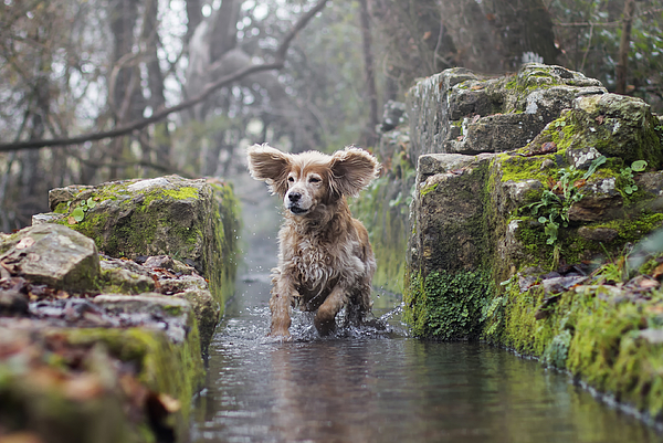 A Cocker Spaniel Playing In Water. Photograph by Maria Luisa Milla