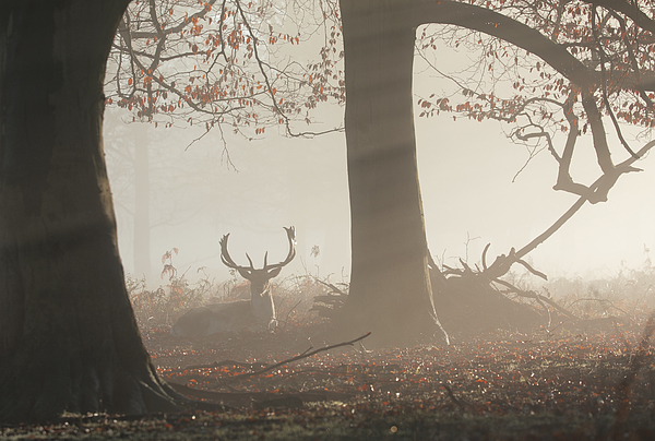 A fallow deer stag (Dama dama) rests in a misty and foggy Richmond Park one winter sunrise, Richmond, Greater London, England, United Kingdom, Europe Photograph by Alex Saberi/robertharding