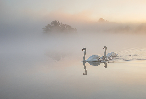 A family of Swans on a misty lake. Photograph by Alex Saberi