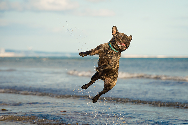 A French Bulldog jumping at the beach Photograph by Brighton Dog Photography