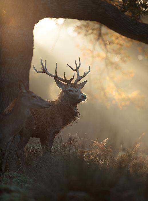 A large stag the mist. Photograph by Alex Saberi