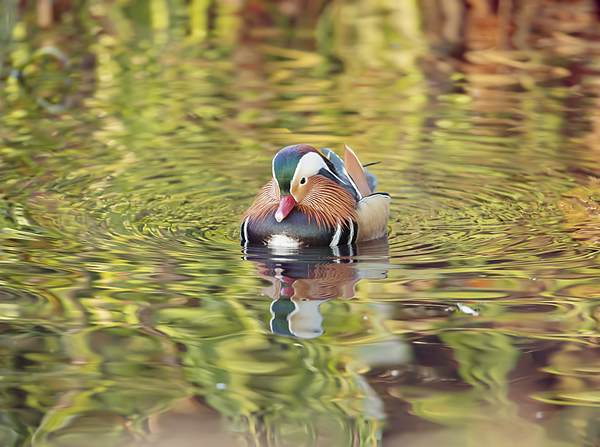 A mandarin duck (Aix galericulata) glides through the water in a reflective and colourful pond in Richmond Park, Richmond, Greater London, England, United Kingdom, Europe Photograph by Alex Saberi/robertharding
