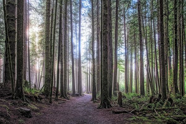 A Path Through Old Growth Stylized Photograph