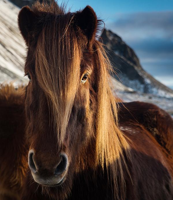 A portrait of an Icelandic horse. Photograph by Alex Saberi