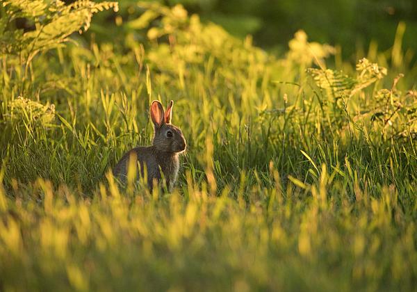 A rabbit at sunset. Photograph by Alex Saberi