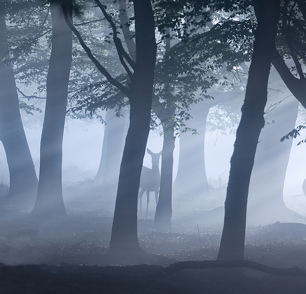 A single deer in an misty forest. Photograph by Alex Saberi