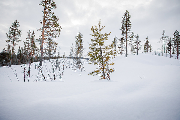 A Snow-covered Forest In Rural Norway, Wintertime Photograph by Morten Falch Sortland