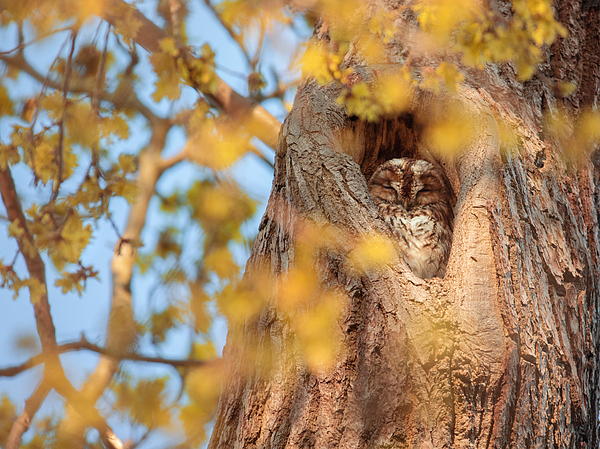 A tawny owl sleeping in a tree. Photograph by Alex Saberi