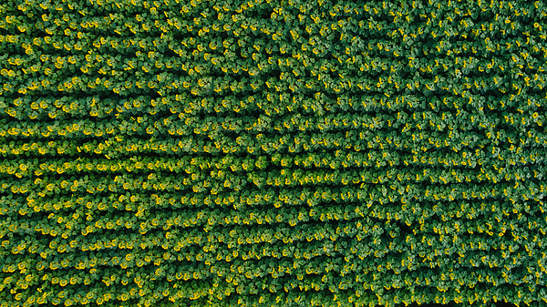 Aerial view of sunflower fields in countryside Photograph by Oleh_Slobodeniuk