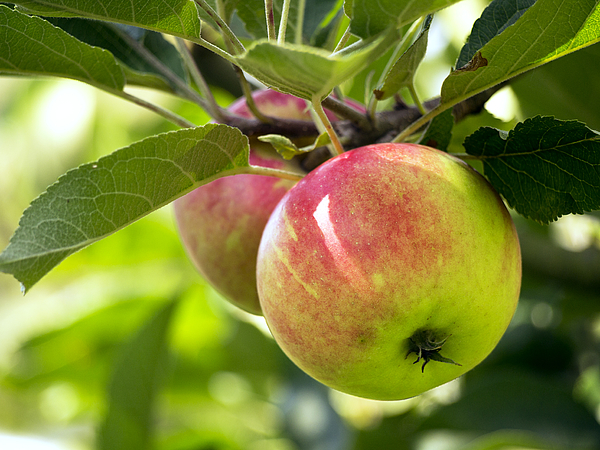 Apples on the Tree Photograph by Bernd Schunack