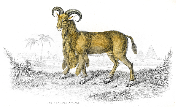 Argali Sheep Lithograph 1884 Drawing by Thepalmer
