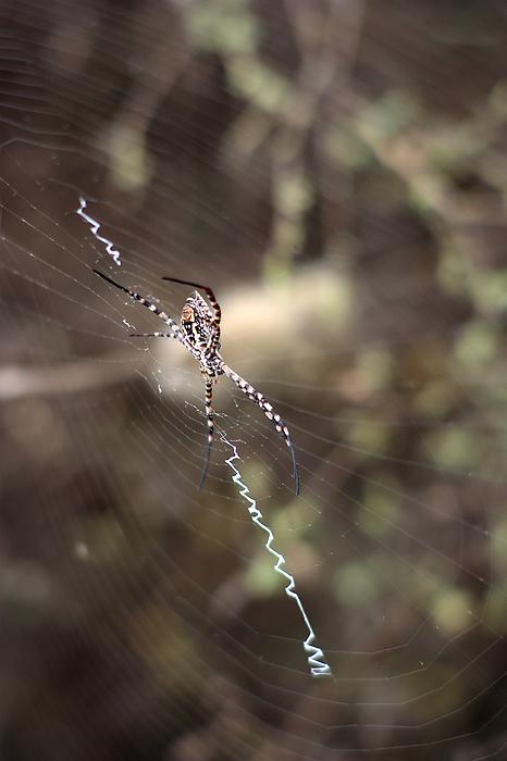 Banded garden spider Photograph by Iñaki Respaldiza