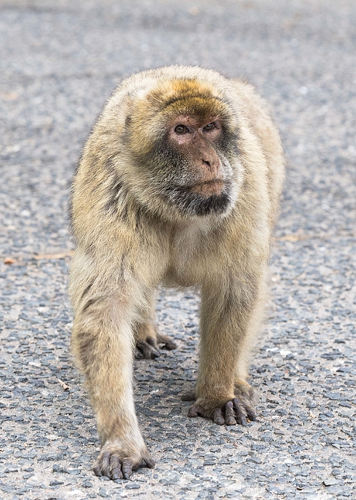 Barbary Macaque Photograph by Elizabeth W. Kearley
