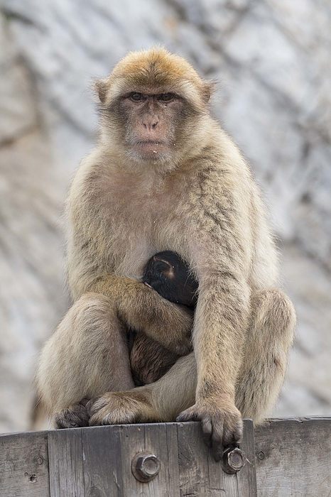 Barbary Macaque with Baby Photograph by Elizabeth W. Kearley