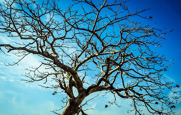 Bare Tree Against Blue Sky Photograph by Manjurul Haque / EyeEm