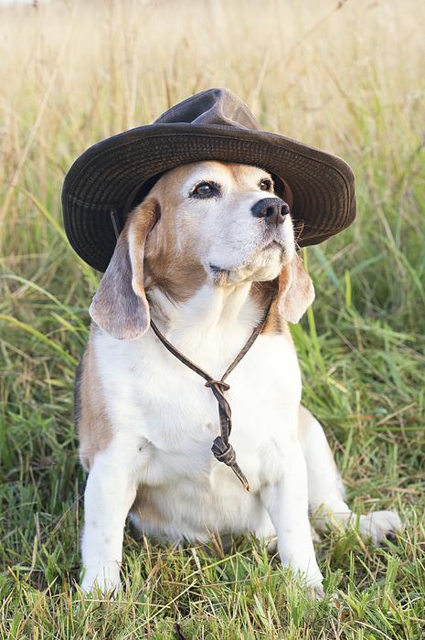 Beagle in Indiana Jones Hat Photograph by Ian Gwinn