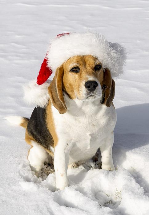 Beagle in Santa Claus Hat Photograph by Ian Gwinn