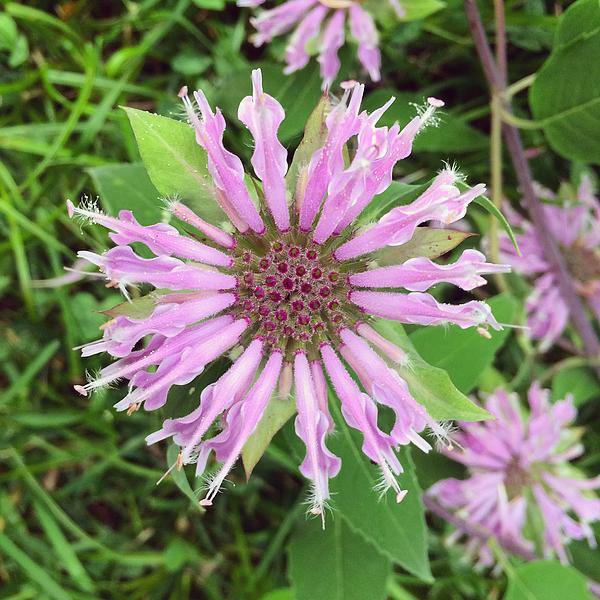 Bee Balm Photograph by Cyndi Monaghan
