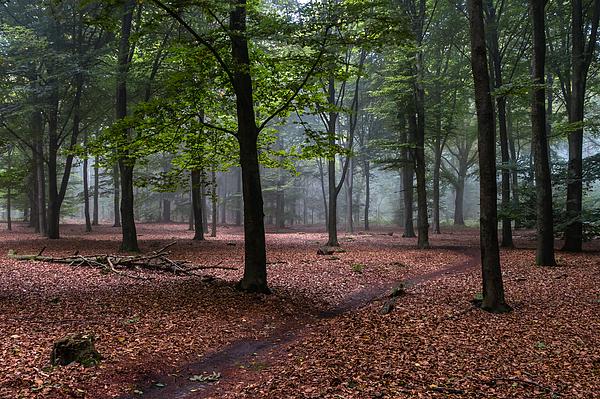 Beech Forest Photograph by William Mevissen