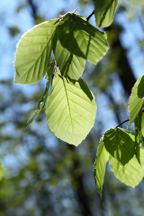 Beech leaf brightly backlit Photograph by Pejft