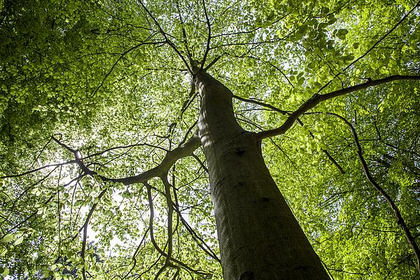 Beech tree Photograph by © Santiago Urquijo