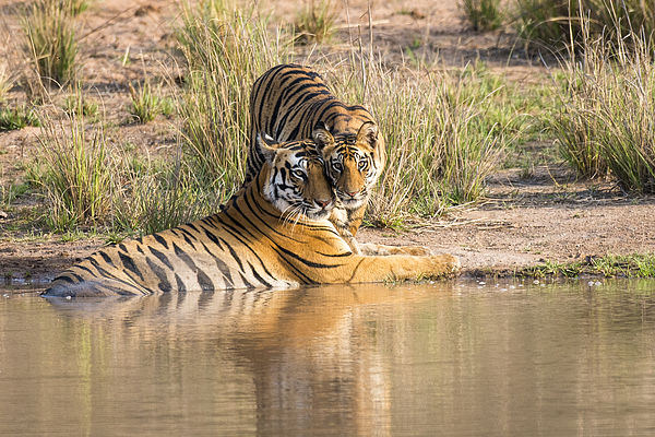 Bengal tiger mother with cub at edge of pool Photograph by James Warwick