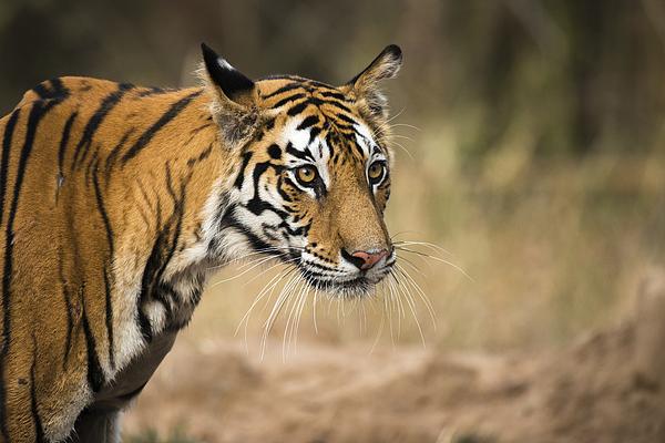 Bengal tigress portrait Photograph by James Warwick
