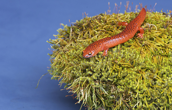 Black lipped Salamander sitting on a moss covered rock. Photograph by Betty4240
