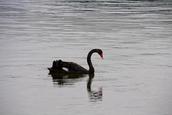 Black swan and reflection on a lake Photograph by David Epperson