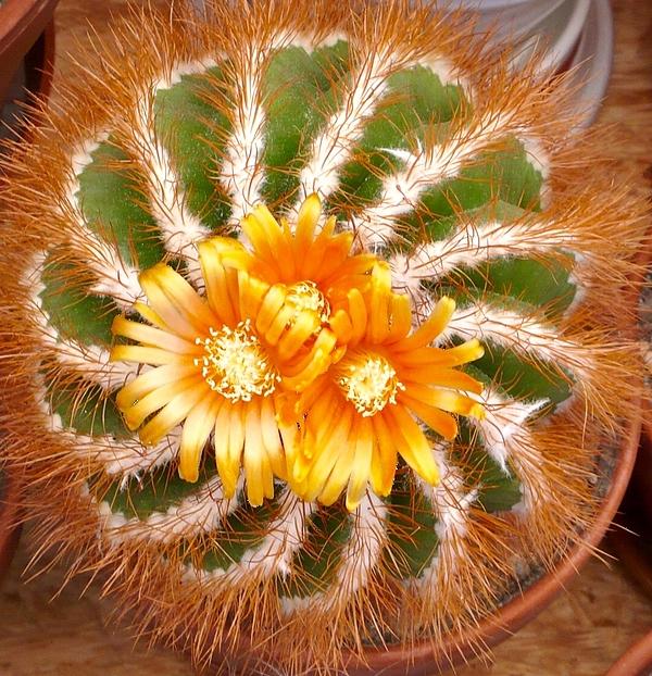 Blooming Cactus Photograph by Friedrich (Klimpi) Loosli (Klimperator) / EyeEm
