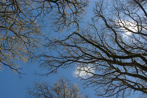 Blue sky through bare tree branches Photograph by Lyn Holly Coorg