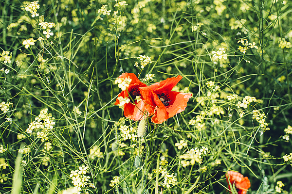 Bright Red Poppies In Rape Plant Filed Photograph by By Anna Rostova