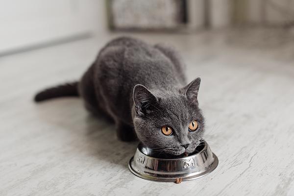 British cat eating food from a bowl on the floor Photograph by Kseniya Ovchinnikova