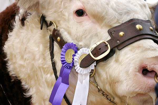Bull The Winner Number One Photograph by Grafissimo