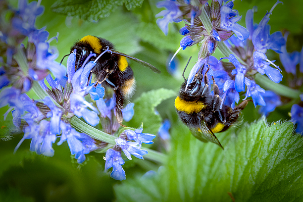 Busy Bees Photograph by Pauline Lewis