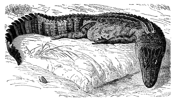 Caiman Is An Alligatorid Crocodilian Belonging To The Subfamily Caimaninae Drawing by Nastasic