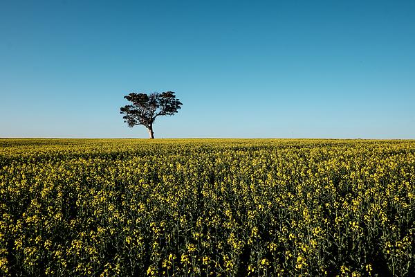 Canola Tree Photograph by Matthias Gaberthüel