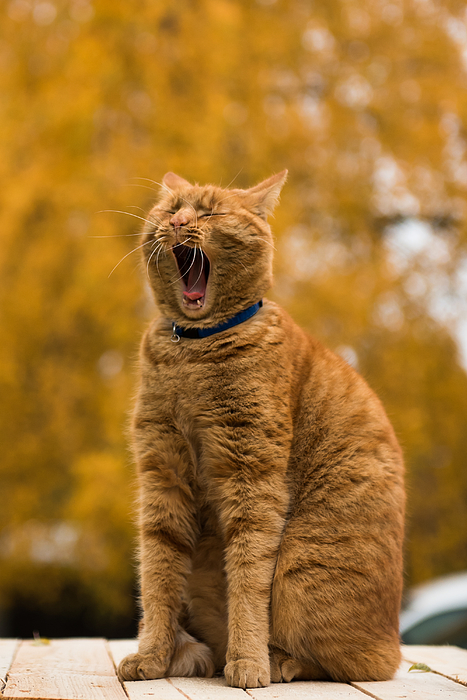 Cat Yawning While Sitting Outdoors Photograph by Gints Ivuskans / EyeEm
