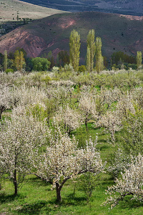Cheery Trees Blossoming At Springtime, Southern Turkey Photograph by Izzet Keribar