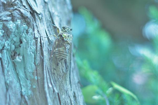 Cicada Photograph by Photo by Kosei Saito