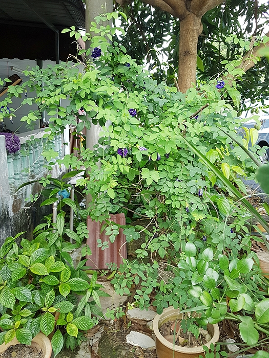 Clitoria ternatea plant  or known as Asian pigeonwings or blue pea planted in a pot Photograph by Firdausiah Mamat