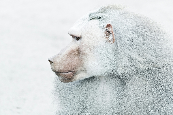 Close-Up Of Baboon Looking Away During Winter Photograph by Roman Pretot / EyeEm