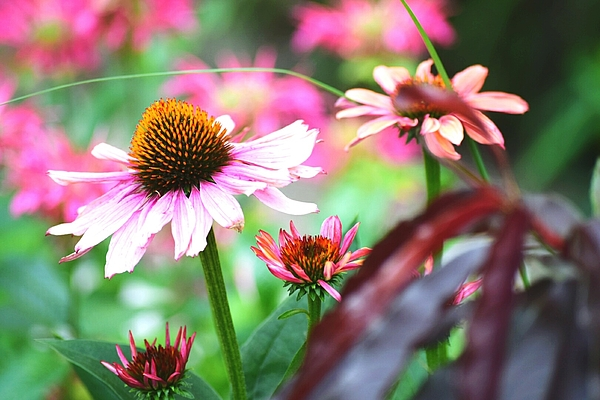 Close-up Of Fresh Pink Coneflowers Blooming In Park Photograph by James Forsythe / EyeEm