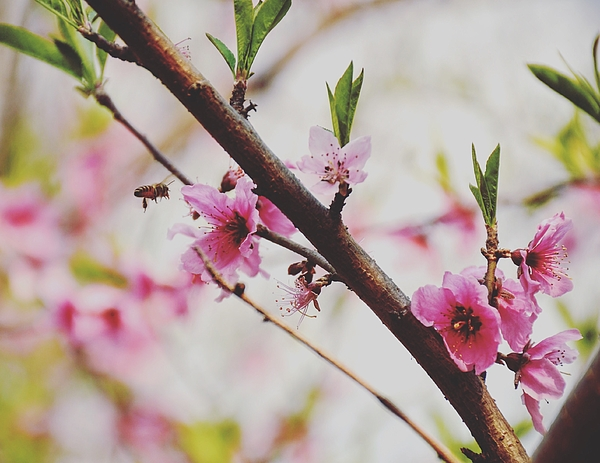Close-up Of Pink Peach Blossoms Blooming Outdoors Photograph by Yi Zheng / EyeEm