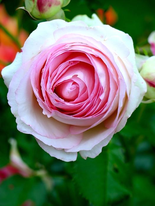 Close-up Of Pink Rose Blooming At Park Photograph by Manuela Schewe-Behnisch / EyeEm