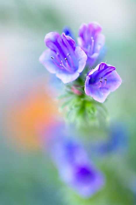 Close-up Of Purple Flowers Blooming Outdoors Photograph by Jean Michel Segaud / EyeEm