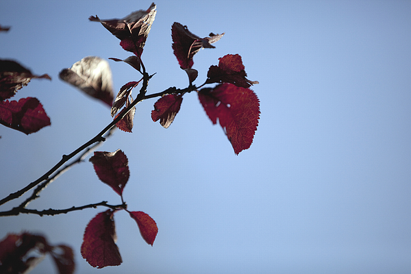 Close-Up Of Red Leaves On Branch Against Clear Blue Sky Photograph by Paulien Tabak / EyeEm