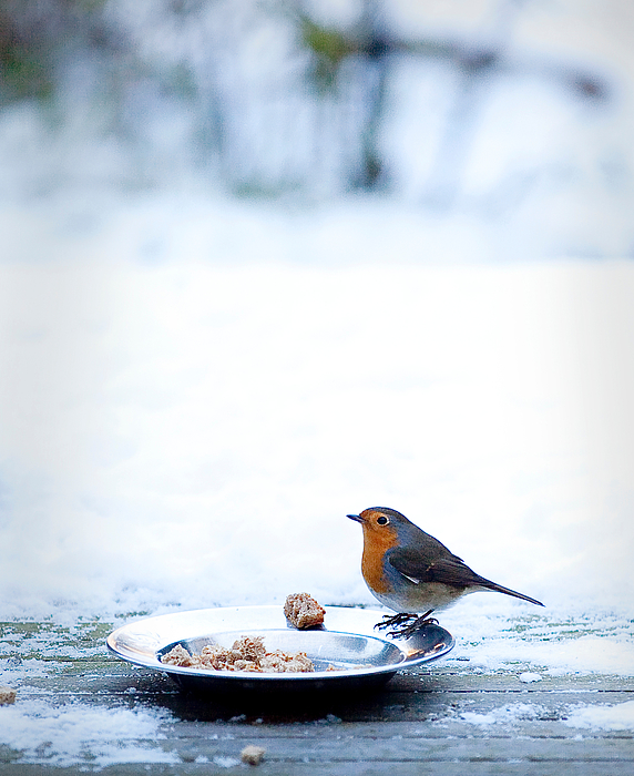 Close-Up Of Robin Perching On Plate With Food Photograph by Paulien Tabak / EyeEm